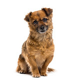Crossbreed dog