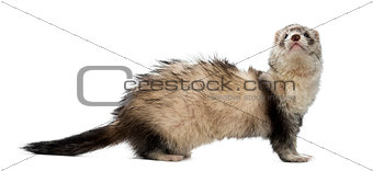 Old ferret