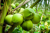 Coconut Palm Tree, tropical fruit for healthy eating