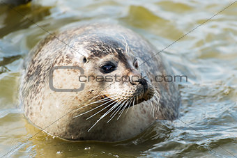floating gray seal
