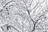 White snow on the tree branch