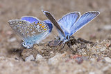 The Common Blue, Polyommatus icarus