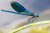 The Banded Demoiselle (Calopteryx splendens)