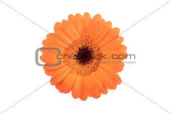 Beautiful orange daisy on white