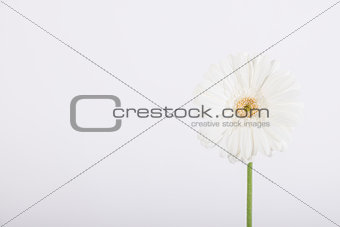 Beautiful white daisy on white