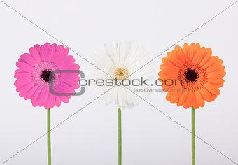Beautiful Gerber daisies in studio