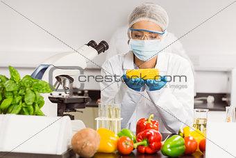 Food scientist looking at corn cob