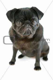 Black Pug