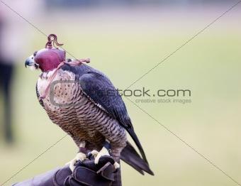 A Hooded Falcon