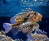 motley fish
