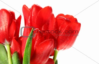 Red tulips against white