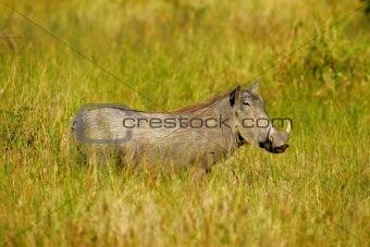 African Warthog