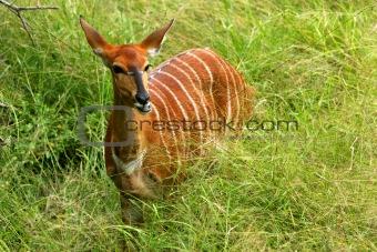 African Nyala