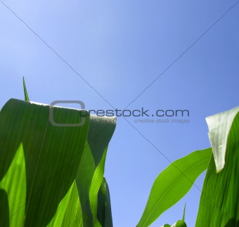 Green leaves in corn field