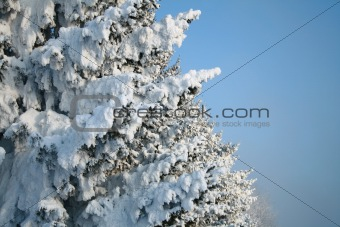 Fragment of snow-covered fir-tree