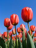 Tulip field 6