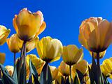 Tulip field 8