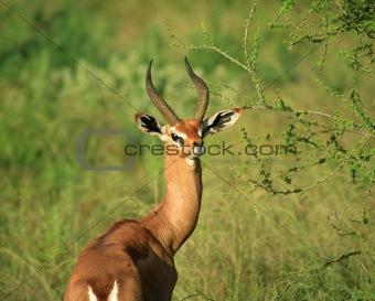 Single Grant's Gazelle