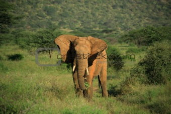 Elephant with ears flapping