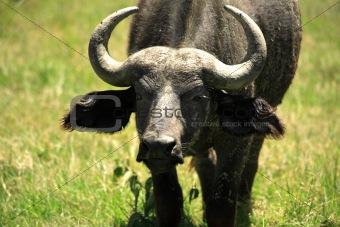 Moody Buffalo