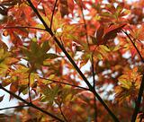 Japanese Maple Tree 2