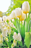 Muscari botryoides and tulips