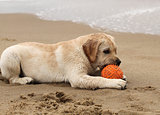 yellow labrador puppy playing with a ball