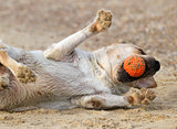 labrador playing with a ball close