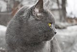 Gray Mature cat outdoors