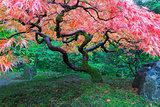 Old Maple Tree at Japanese Garden