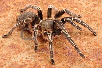 Chaco Golden Knee Tarantula