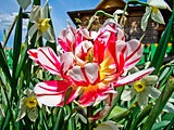 Decorative Tulip