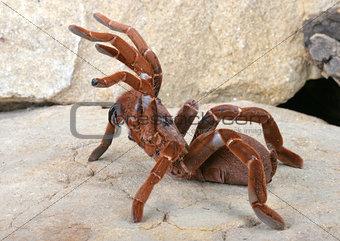 King Baboon Tarantula