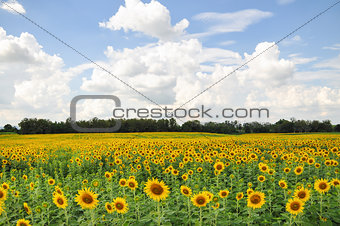 Beautiful sunflower field