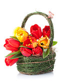 Fresh colorful tulips bouquet in basket