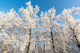 beautiful winter forest on sunny day