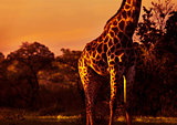 Beautiful tall giraffe