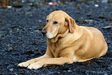 Golden labrador retriever laying on gravel bar in Seward