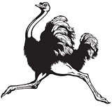 ostrich black white