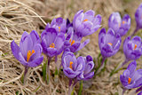 crocuses in nature