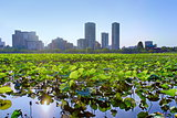 Lotus at Shinobazu Pond