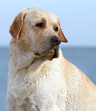 labrador at the sea portrait close up