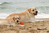 puppy and yellow labrador playing with a ball
