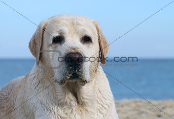a labrador at the sea portrait