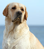 yellow labrador at the sea portrait close up