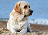 a yellow labrador at the sea portrait close up