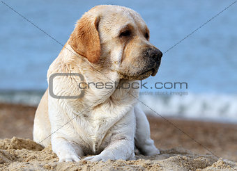 a yellow labrador at the sea portrait close up