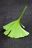 Ginkgo leaf isolated on black.