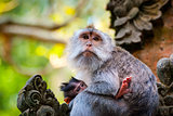 Long-tailed macaque monkey breastfeeding its baby