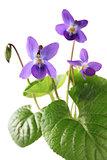 sweet violet, viola odorata